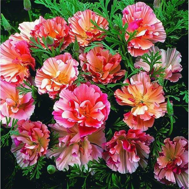 Яркий цветок эшшольция