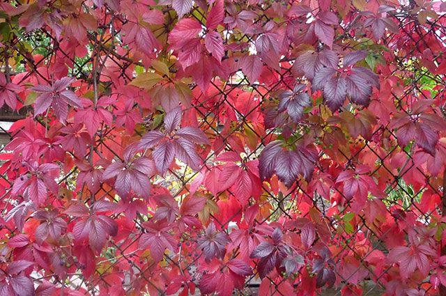 Как правильно вырезать сухие ветви девичьего винограда?