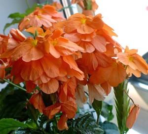 Цветок кроссандра