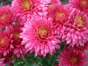 Цветы хризантемы на улице